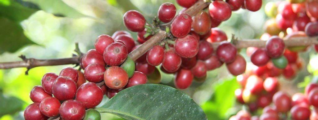 how to decaffeinate coffee