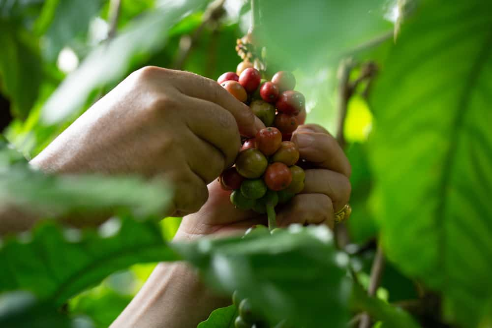What are the different coffee flavours? Farmer harvesting ripe robusta coffee beans